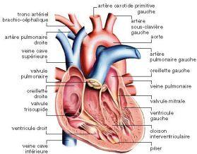 ac69ebaa61_anatomie-coeur_www.afblum.be